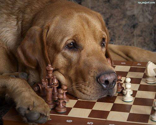 Dog-playing-chess
